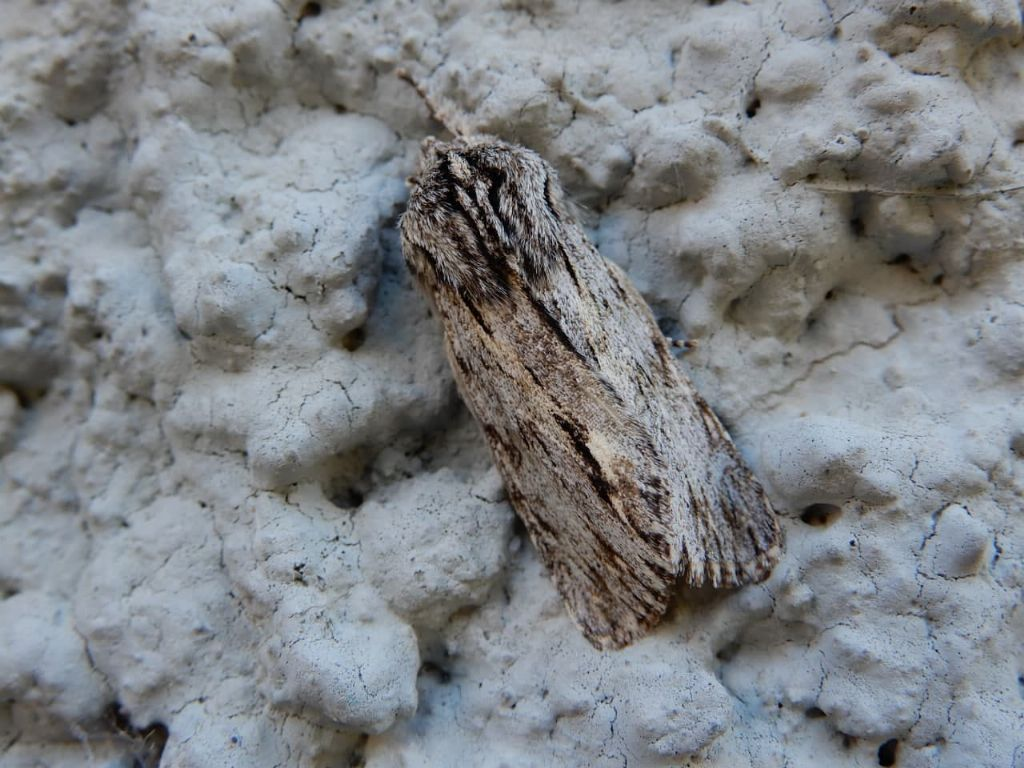 Asteroscopus sphinx - Noctuidae