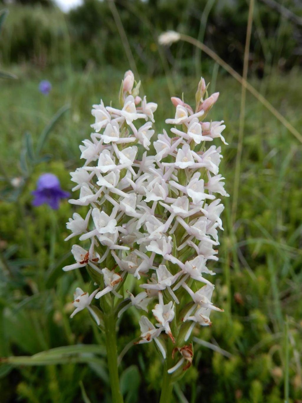 di che orchidea si tratta