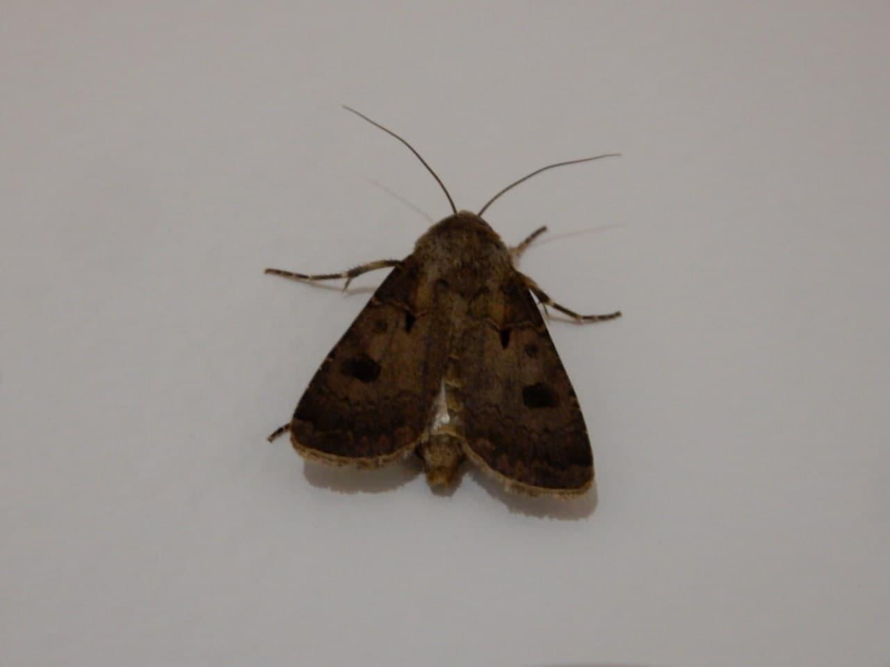Agrotis exclamationis (Noctuidae)