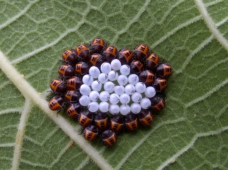 Pentatomidae:  neanidi di Halyomorpha halys