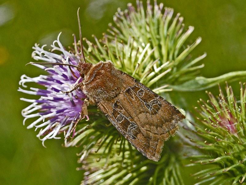 Una farfalla bruna in attesa di un nome - Chersotis cuprea