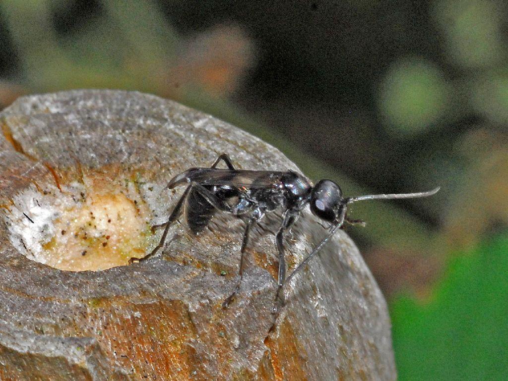Una vespetta nera:   Pompilidae: cfr. Dipogon sp.