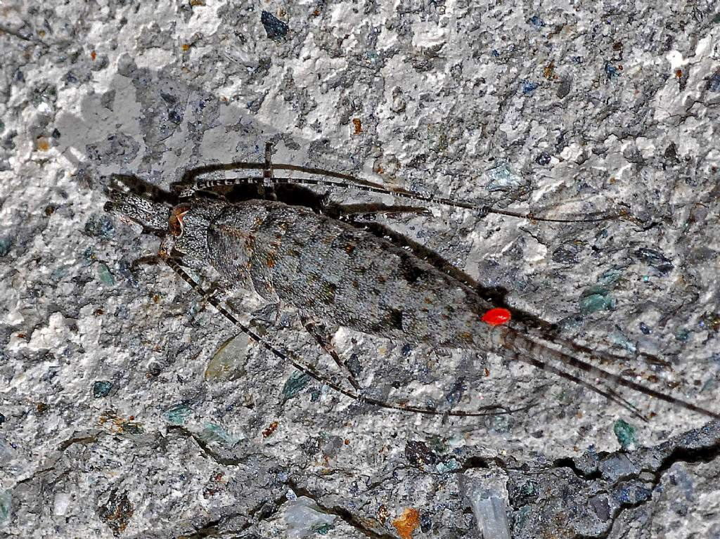 Microcoryphia Machilidae