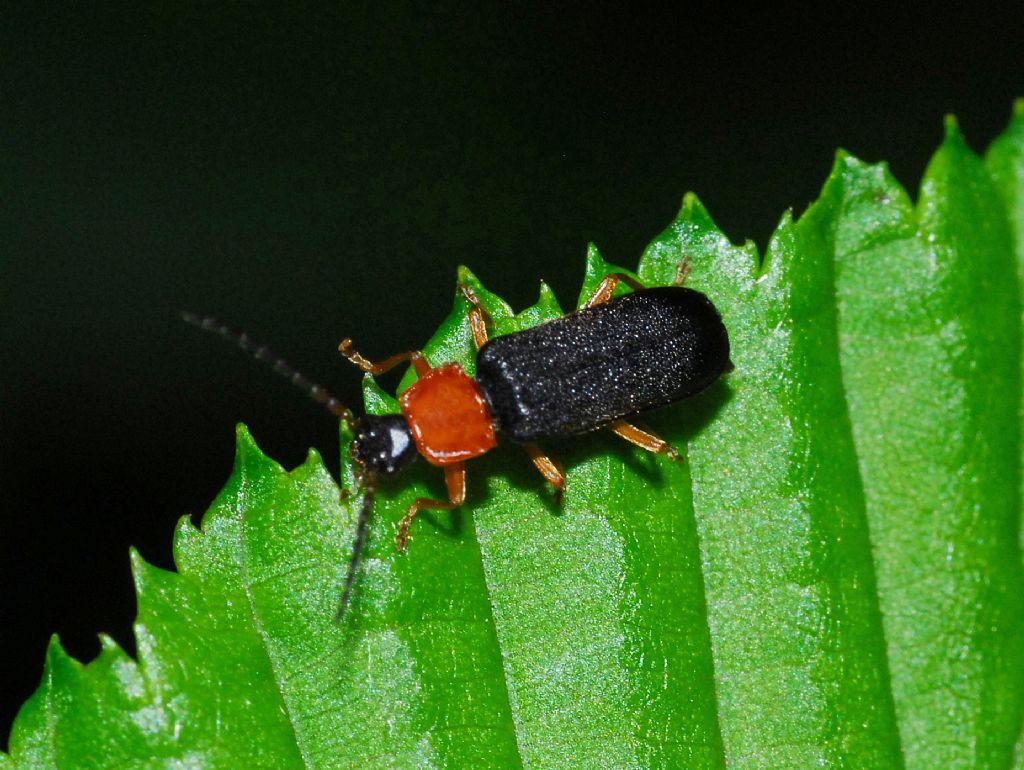 Cantharidae: Cratosilis sp.
