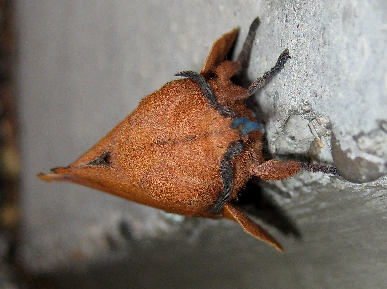 Lasiocampidae: Gastropacha quercifolia che depone le sue uova