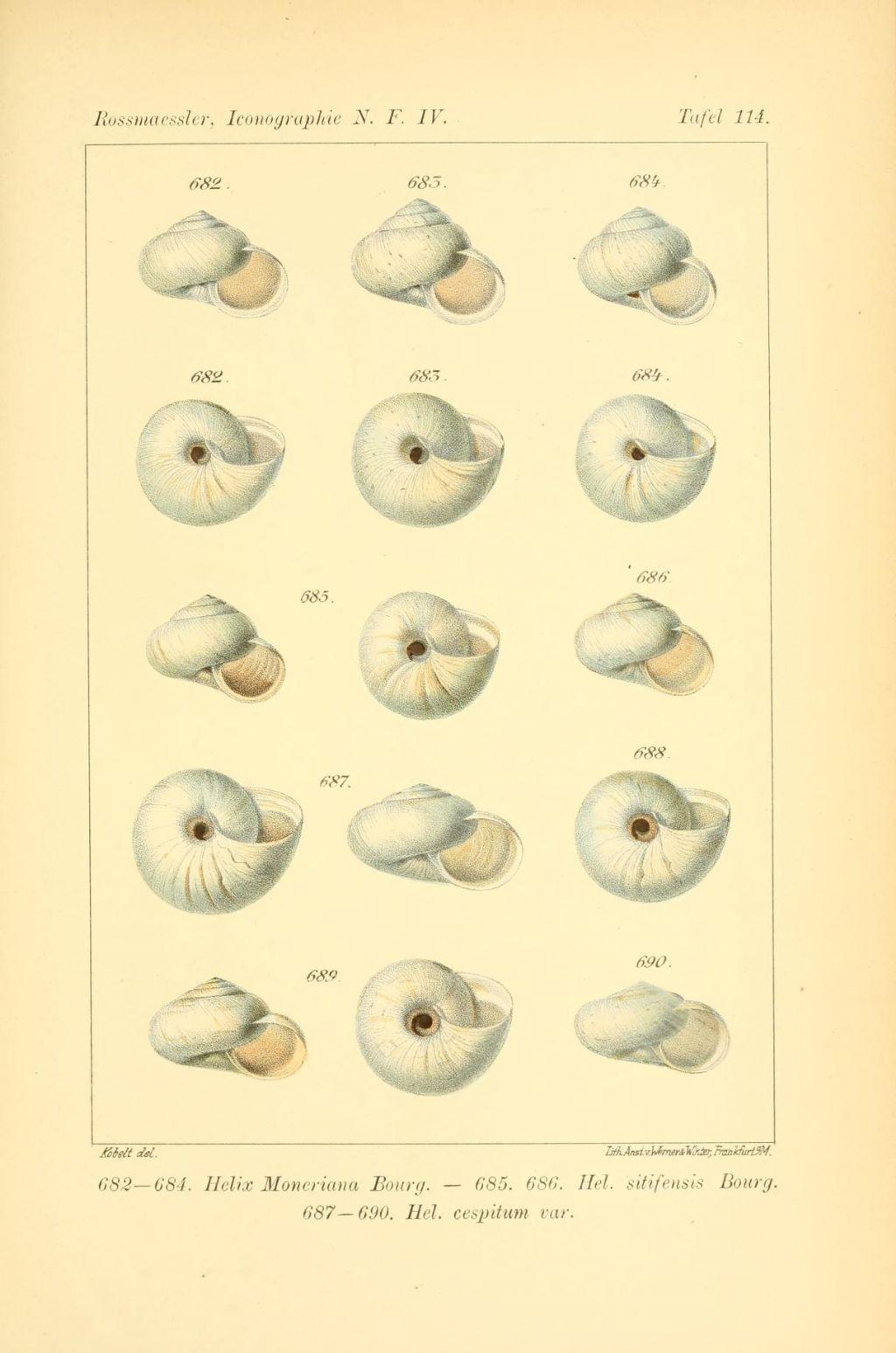 Helicella SITIFENSIS