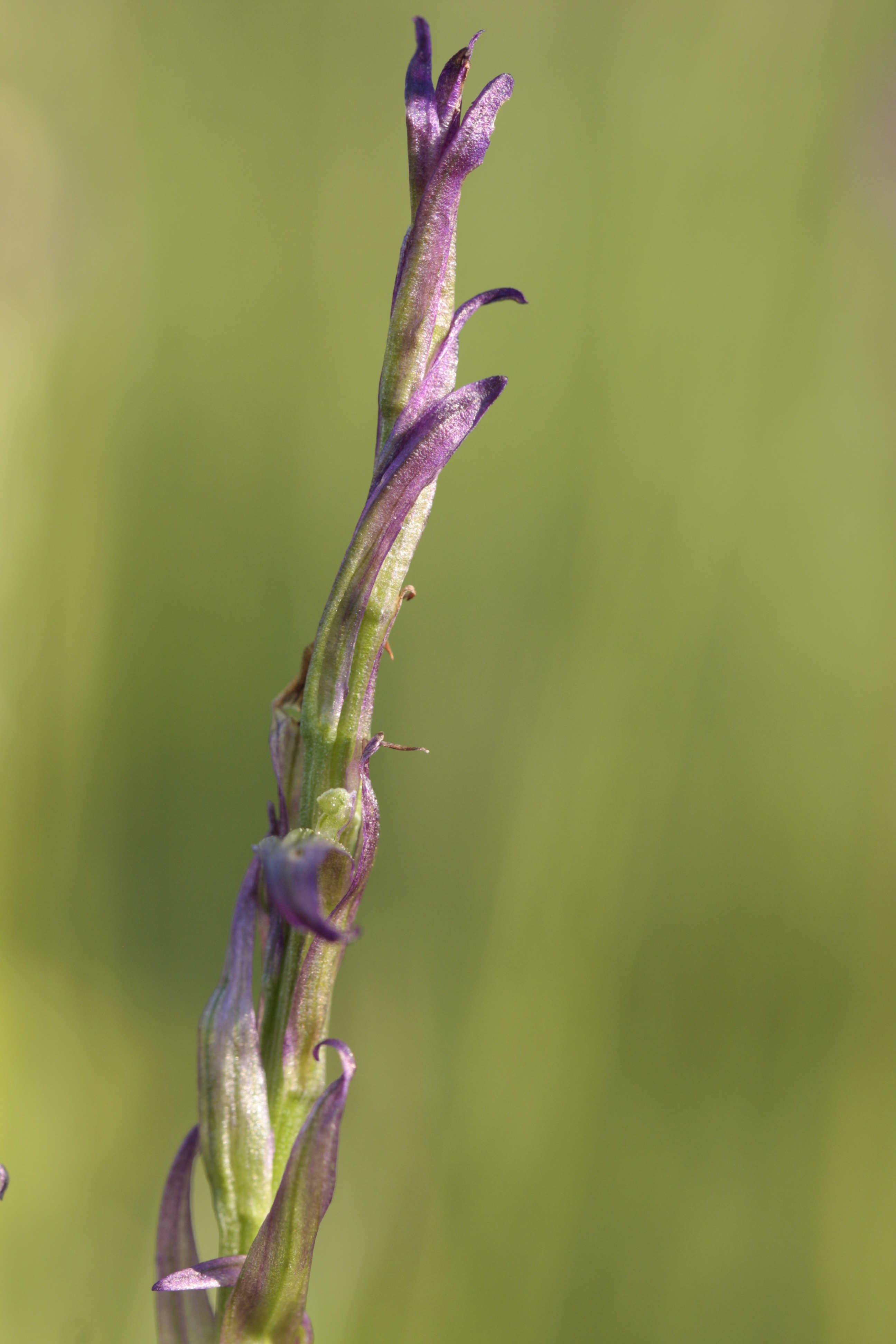 Lusus di Gymnadenia conopsea