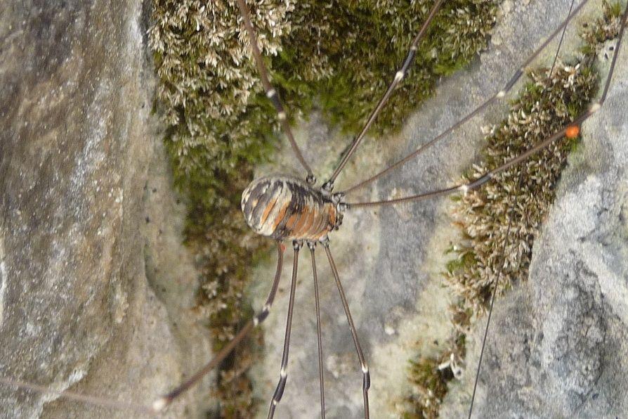 Leiobunum limbatum e  Leiobunum rupestre  -   Tremalzo (BS/TN)