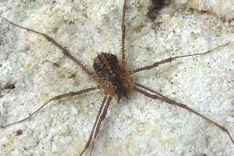 Astrobunus helleri (Sclerosomatidae)