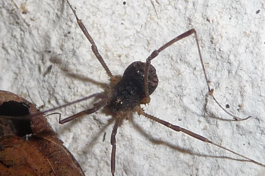 Astrobunus helleri, sì (Sclerosomatidae)