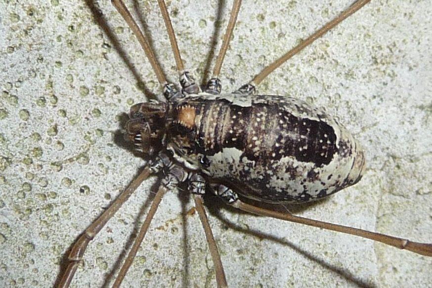 Platybunus pinetorum ♀ (Phalangiidae)