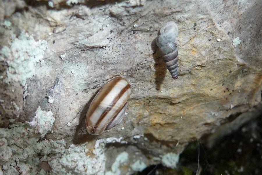 Kosicia ambrosi, Levico (TN)