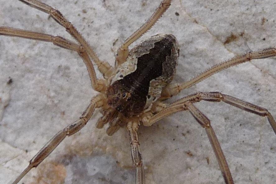 Mitopus morio (Phalangiidae)