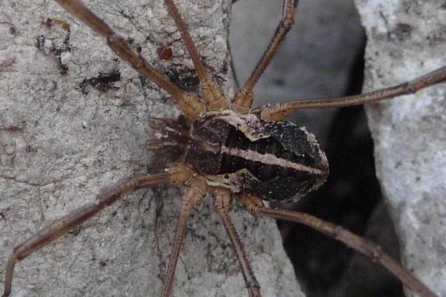 Mitopus morio - Grignetta (LC)