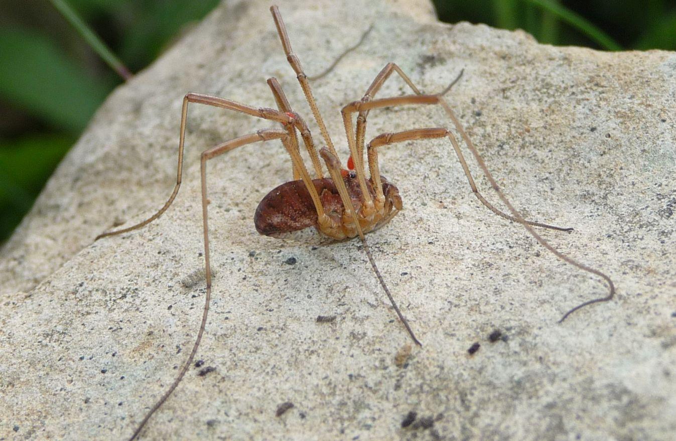 Mitopus morio - M.Bondone (TN)