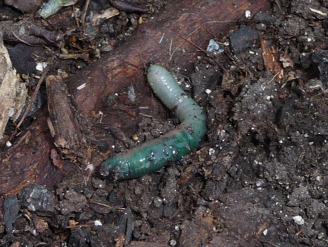 un altro lombrico verde