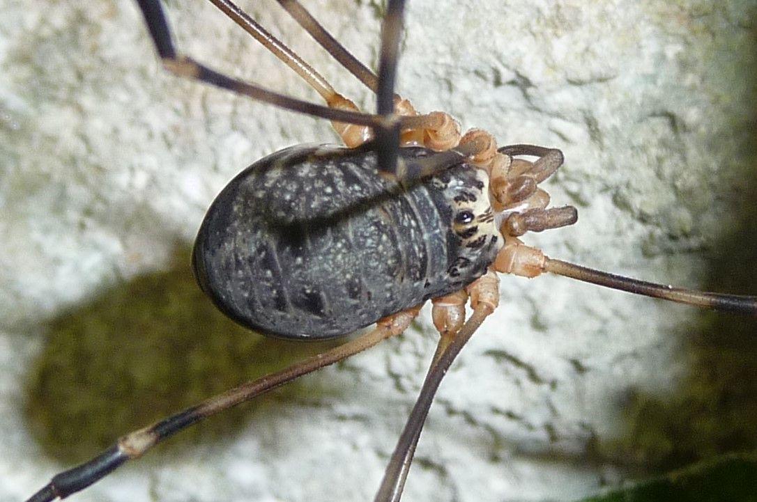 Gyas annulatus ♂♀ - Valle Aviana, Avio  (TN)