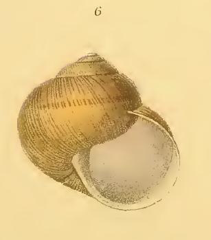 strana Helix ligata s.l. del Matese