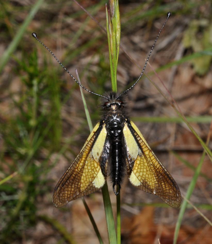Libelloides...