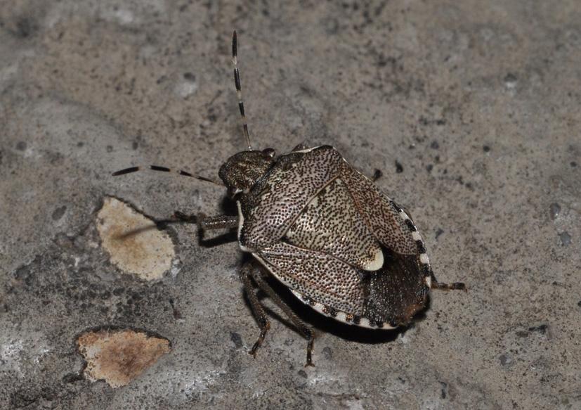 Pentatomidae: Holcostethus sphacelatus e H.albipes