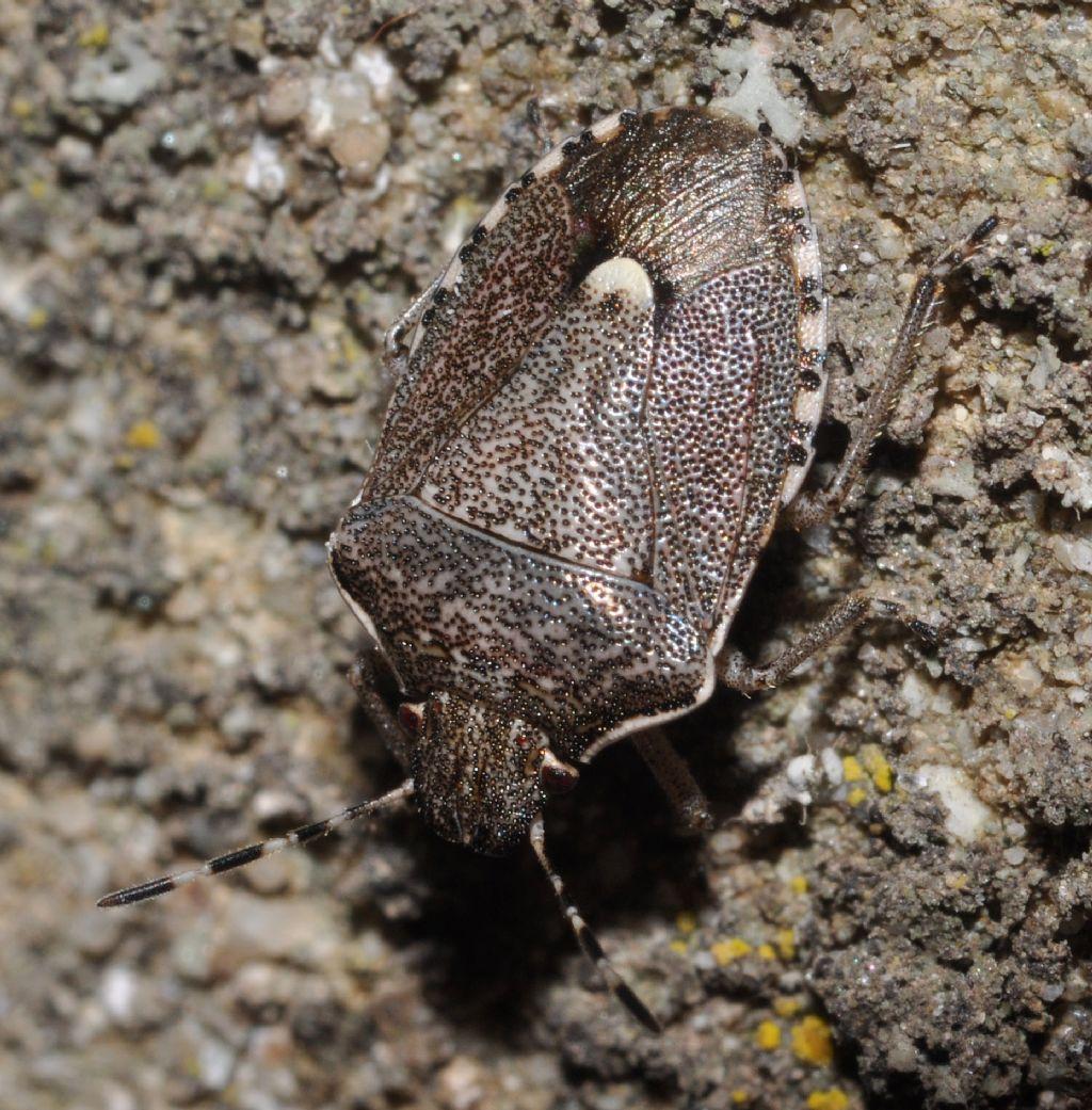 Pentatomidae: Holcostethus albipes della Toscana (AR)