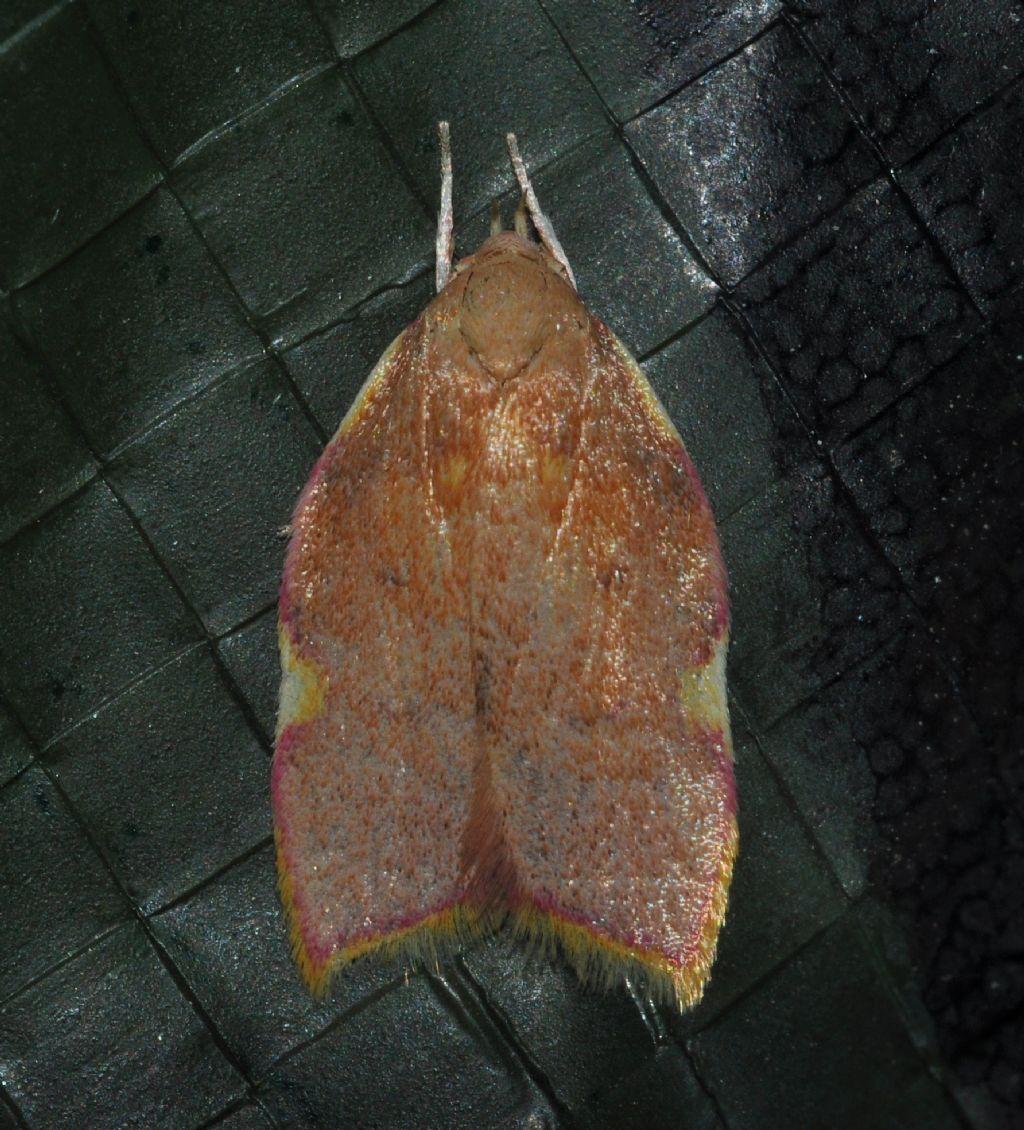 Tortricidae?  No, Carcina quercana (Peleopodidae)