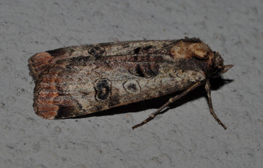Noctuidae da id