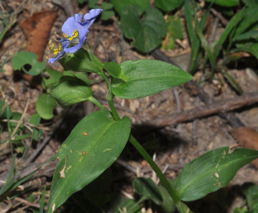 Commelina communis / Erba miseria asiatica