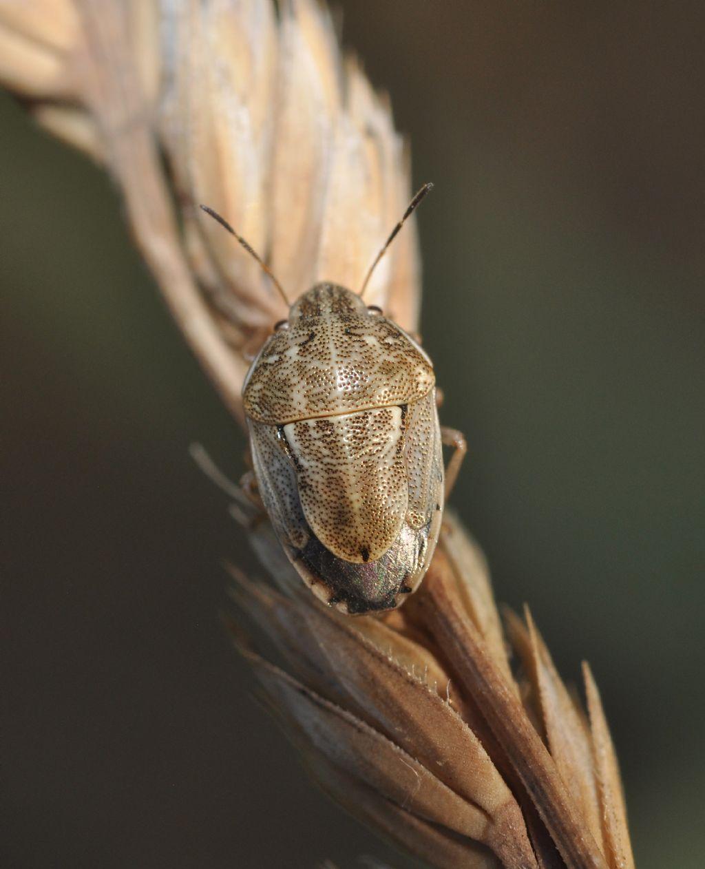 Pentatomidae: Neottiglossa leporina - adulto e ninfa