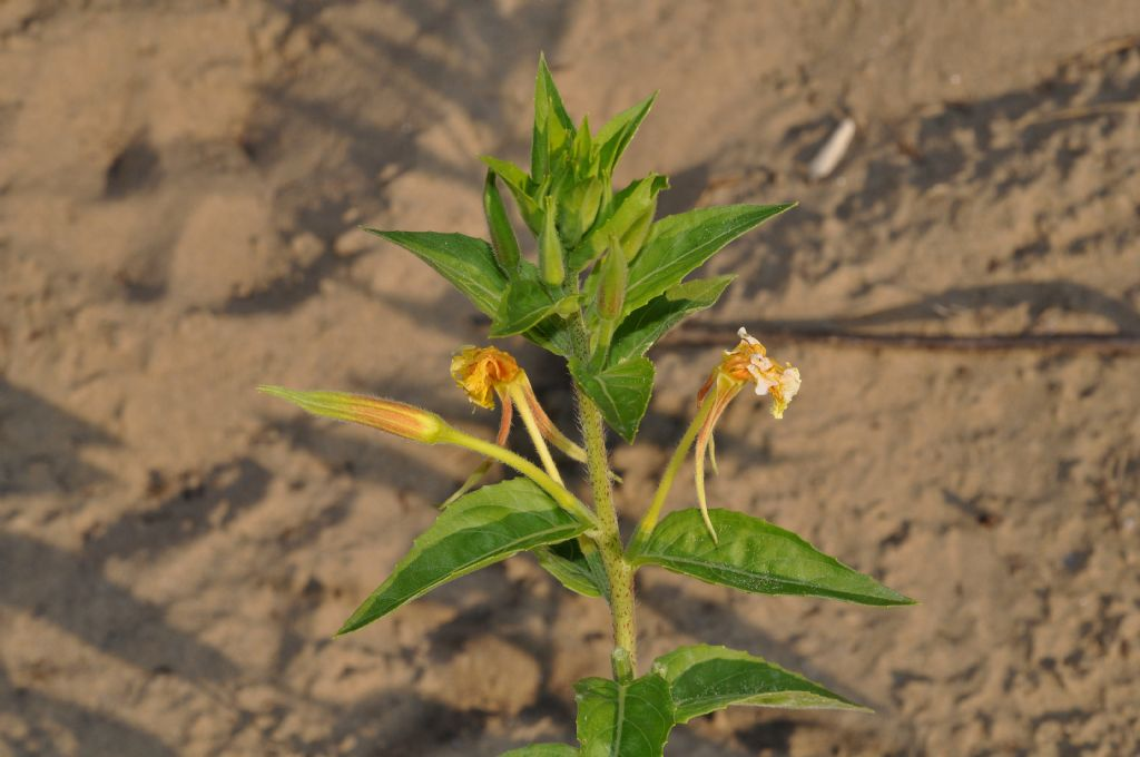 Ambiente retrodunale - da id - Oenothera glazioviana