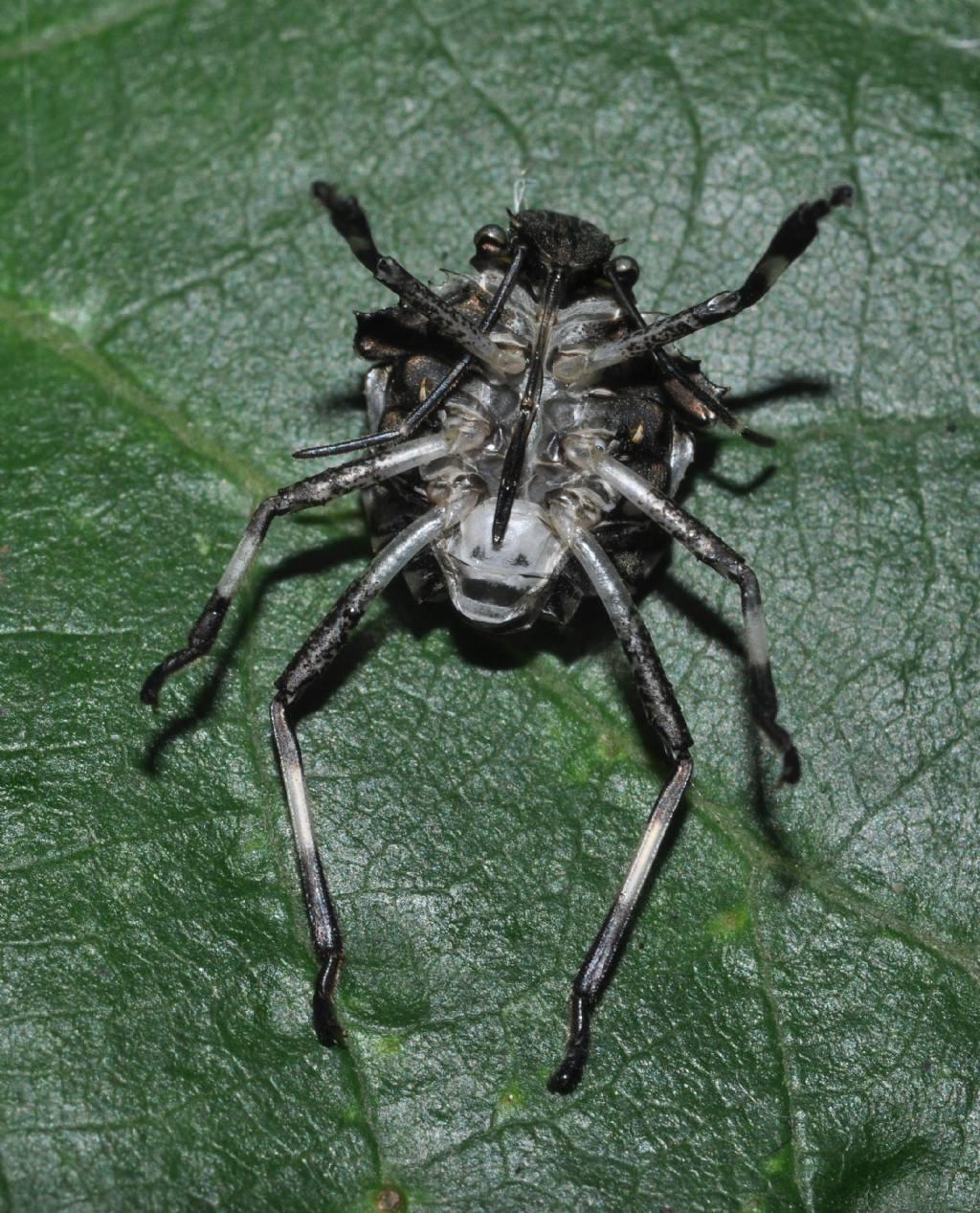 Halyomorpha halys (Pentatomidae)  che sta abbandonando l''esuvia