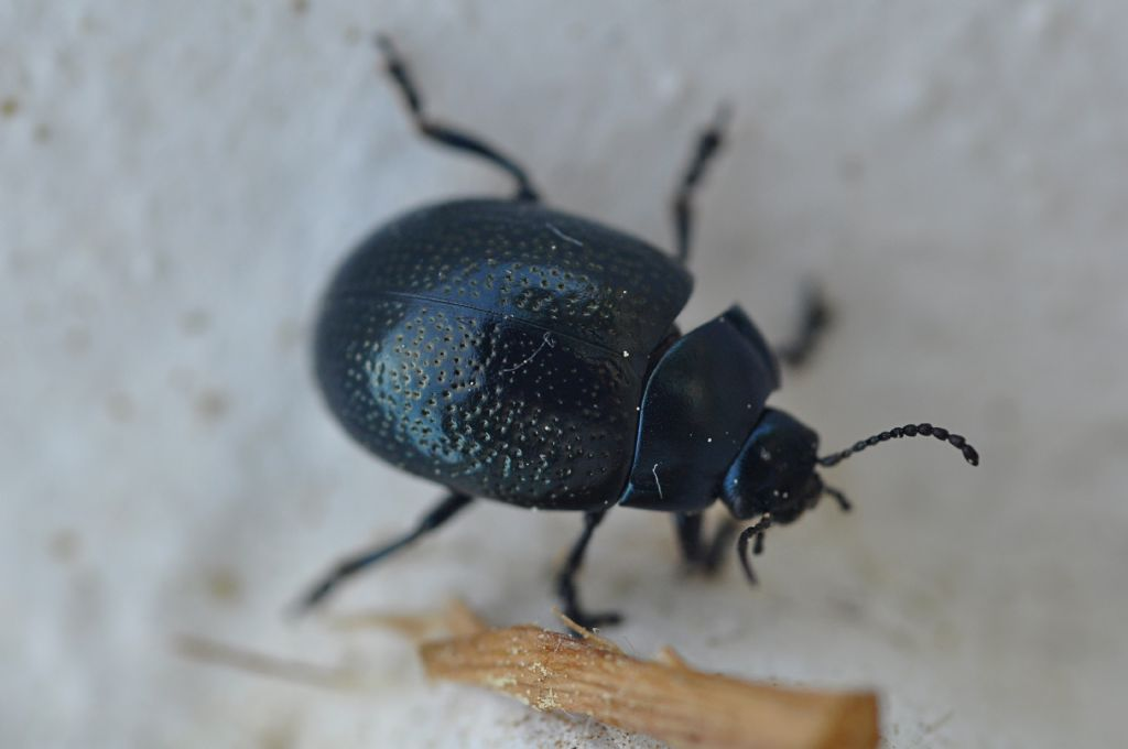 Chrysomelidae: Chrysolina vernalis ssp. italica