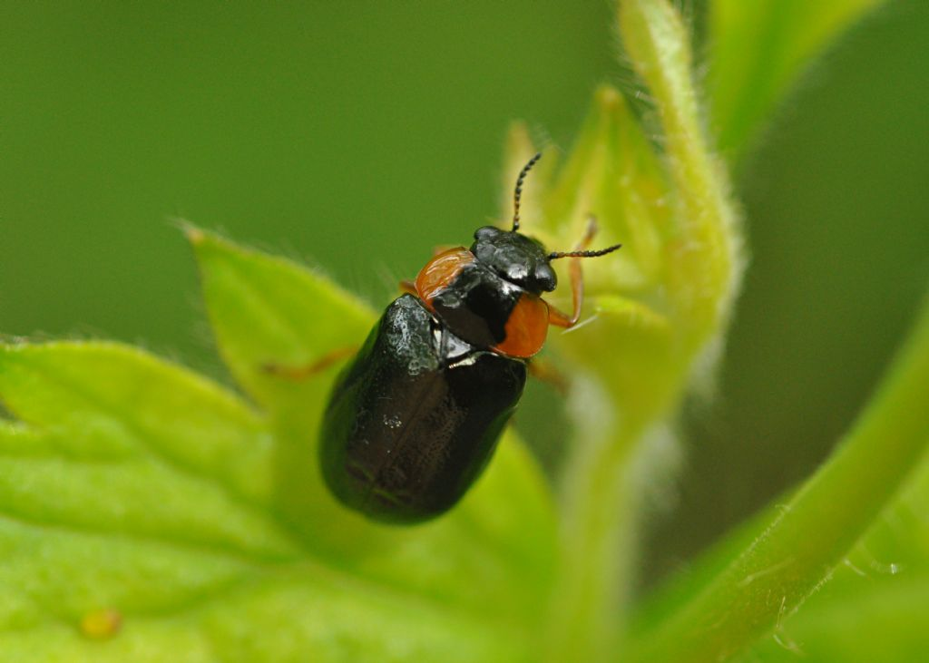 Chrysomelidae: Smaragdina aurita