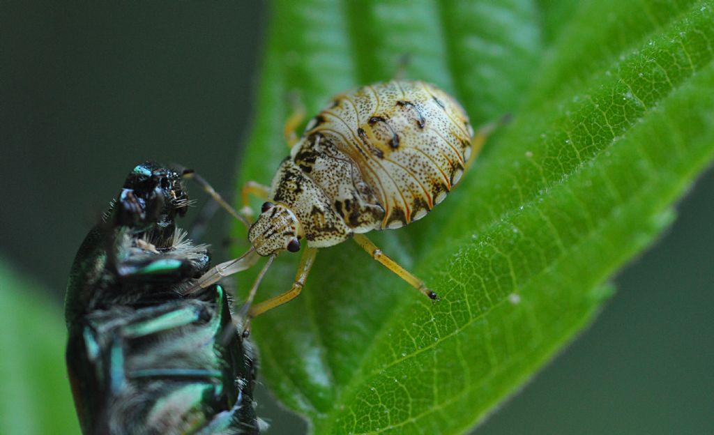 ninfa di Arma custos (Pentatomidae) vs Popillia japonica