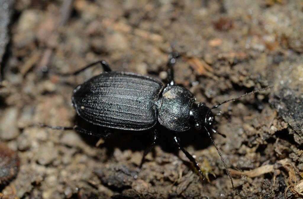 Carabidae: Licinus silphoides