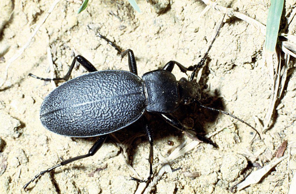 Carabidae:  Carabus (Procrustes) coriaceus
