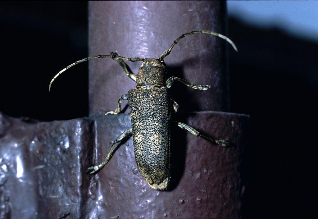 Cerambycidae da id (2)