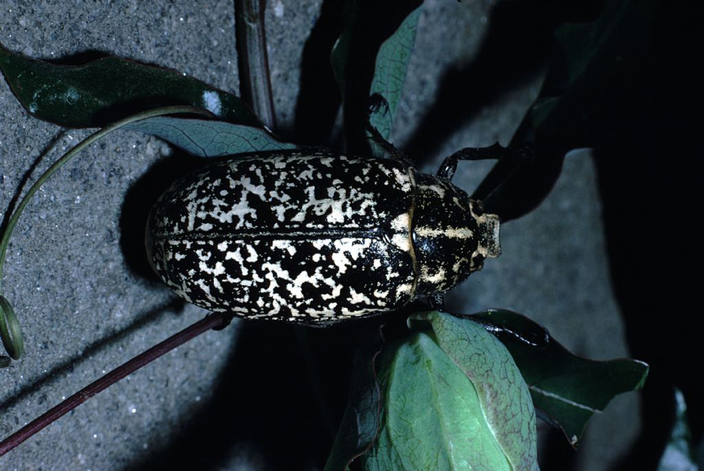 Scarabaeidae, anzi Melolonthidae, Polyphylla fullo