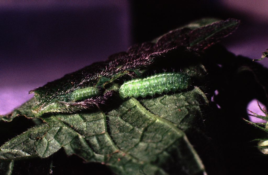 Curculionidae: Hypera sp.