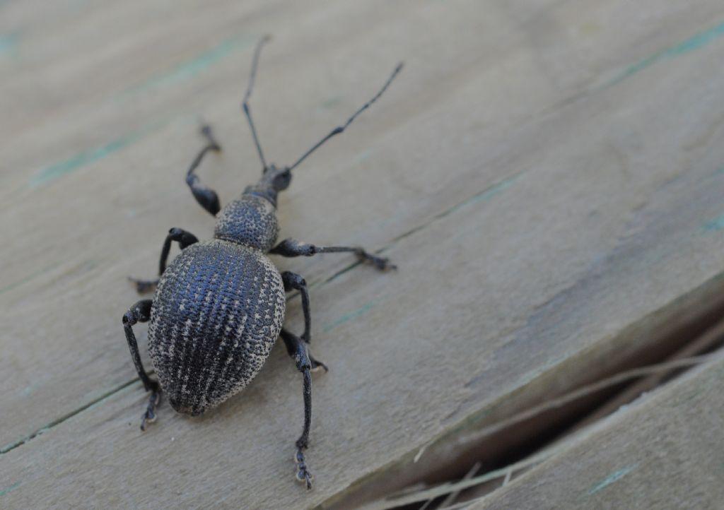 Curculionidae: Otiorhynchus pseudonothus