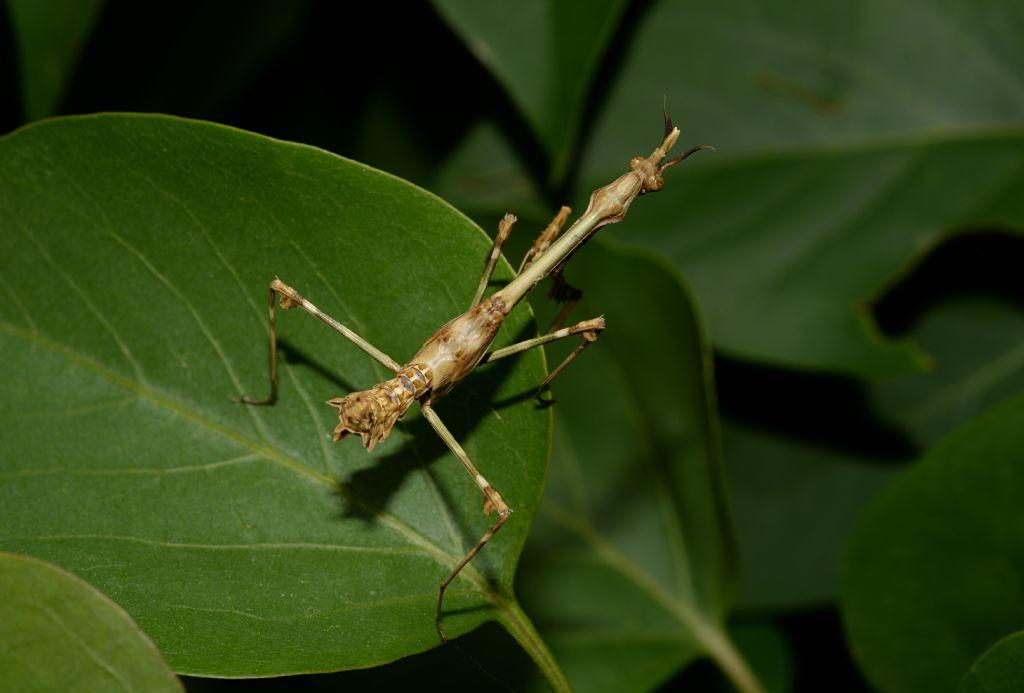 Empusa pennata (Empusidae) ?  Sì !