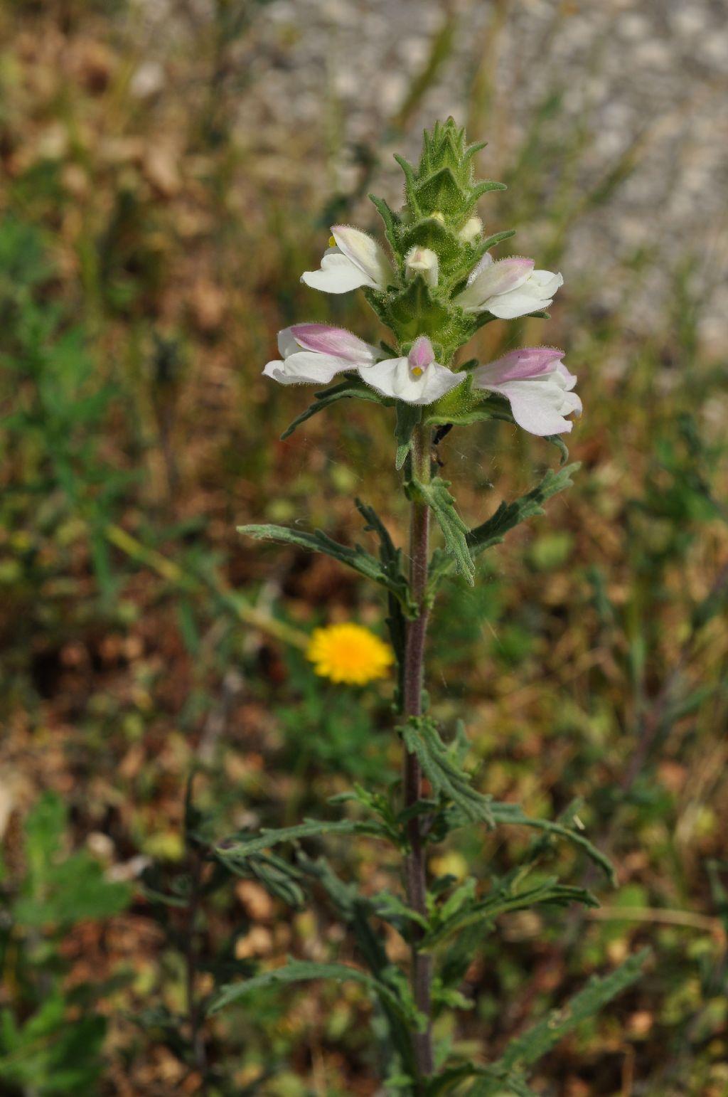 Lamiales Orobanchaceae:  Bellardia (= Bartsia) trixago