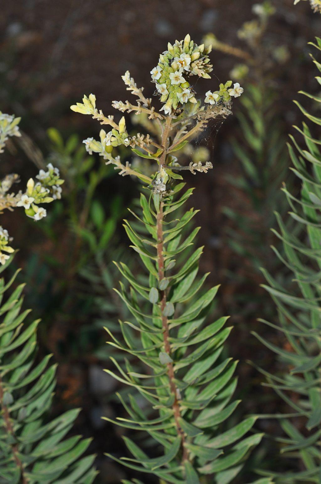 Daphne gnidium  (Thymelaeaceae)