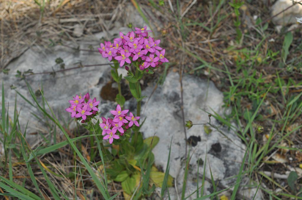 Centaurium erythraea (Gentianaceae)
