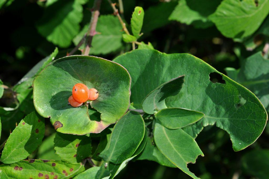 Euphorbia? No, Lonicera implexa (Caprifoliaceae)