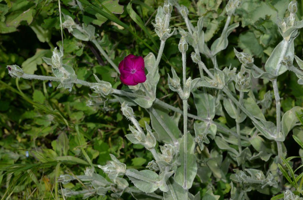 Lychnis coronaria (Caryophyllaceae)