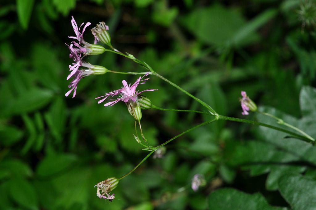 Lychnis flos-cuculi  ( Caryophyllaceae.)