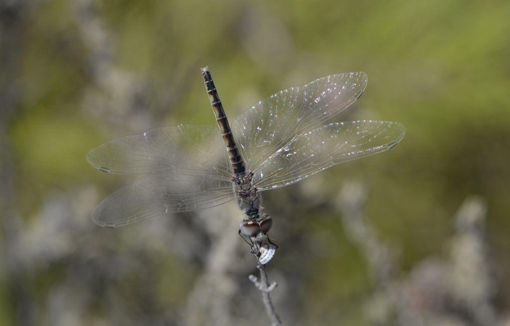 Selysiothemis nigra - femmina