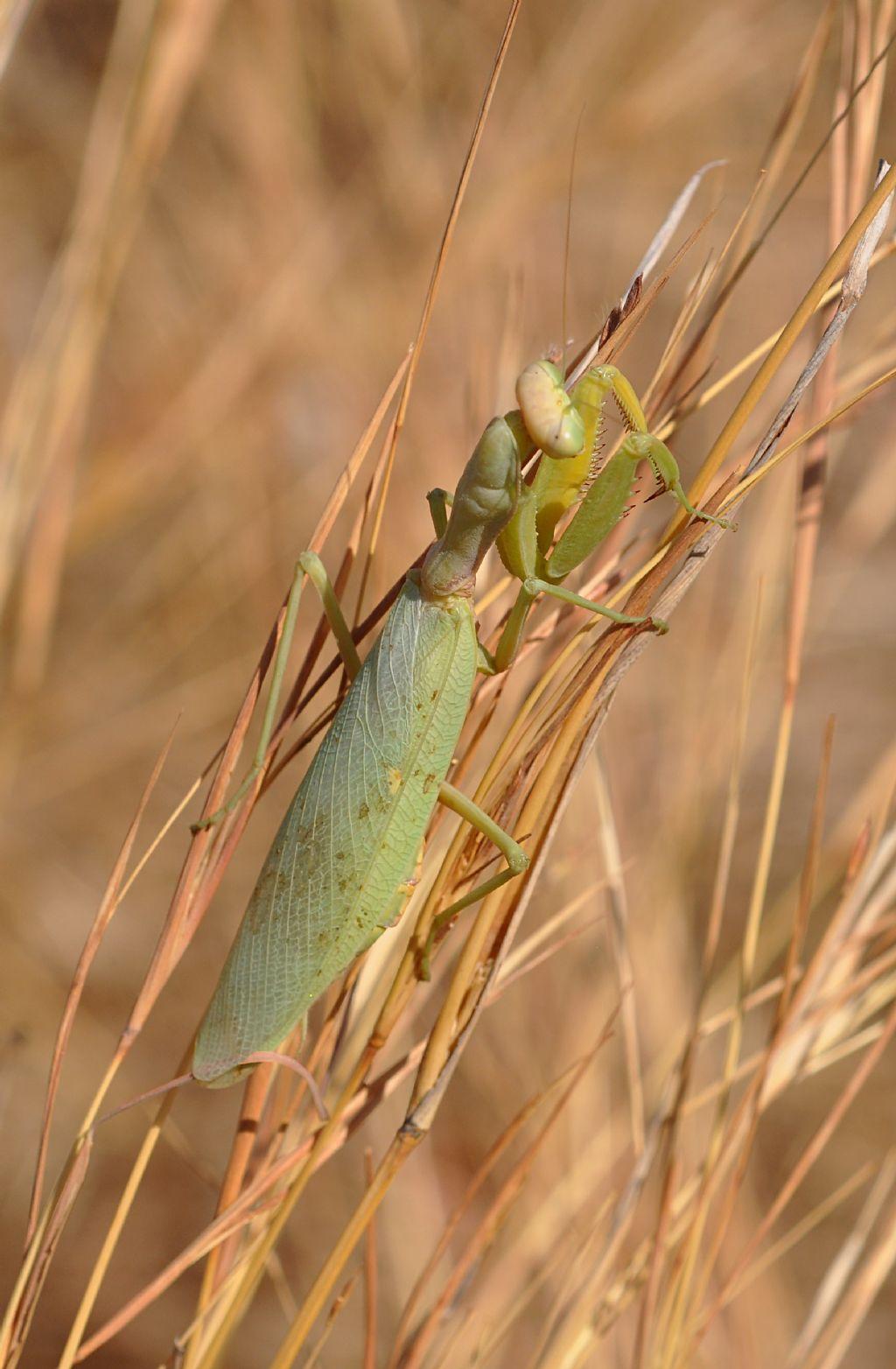 Hierodula tenuidentata, femmina