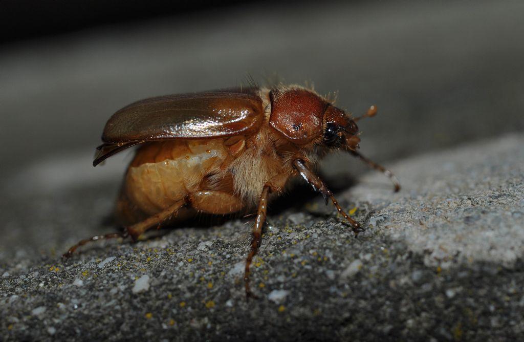 Melolonthidae: Amphimallon sp.